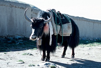 Yak in Darchen